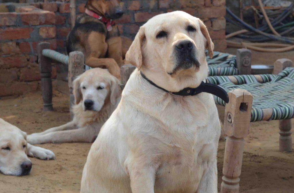 Labrador Dog House In India