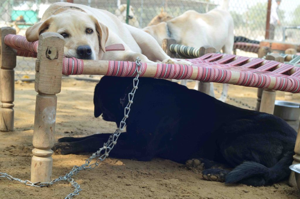Why Are Labradors The Most Abandoned Dog Breed In India